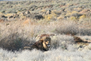Cape Barbary Lion