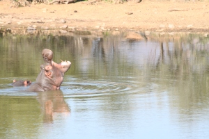One of two hippos on the reserve