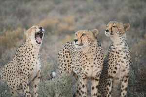 A few of the Cheetas on the reserve