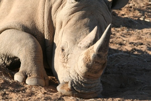 3 year old White Rhino